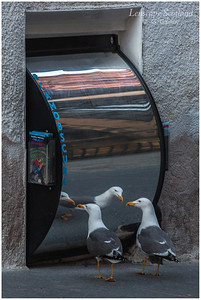 Gulls studying their reflections in the curved mirrors at The Outlook Tower