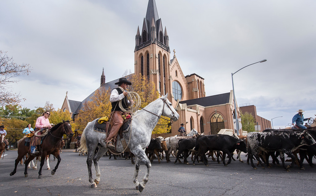 Cowboys herd cattle downtown