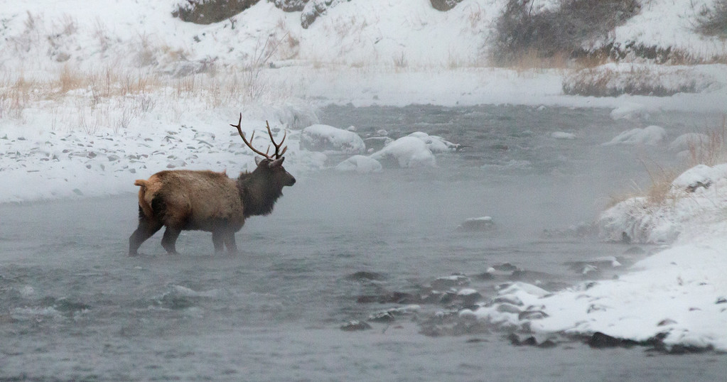An Elk crosses the Boiling River
