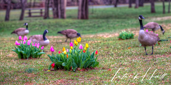Tulips with Geese Panorama