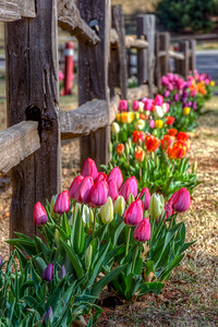 Closed Pink Tulips Fence Standard Size