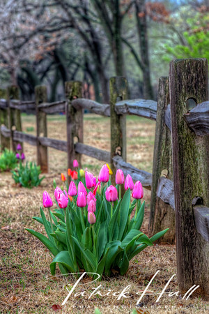 Pink Tulips Fence Standard Size