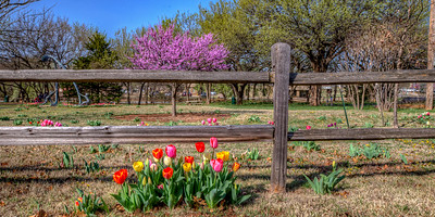Tulips Under Fence with Red Bud Panorama