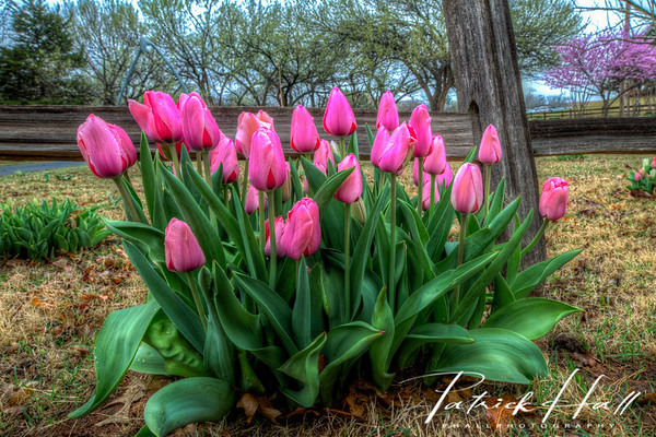 Pink Tulips Rain by Fence Standard Size