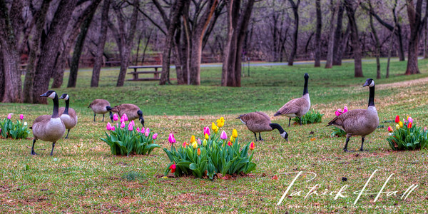 Center Tulips with Geese Panorama
