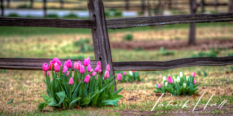 Pink Tulips Fence Panorama