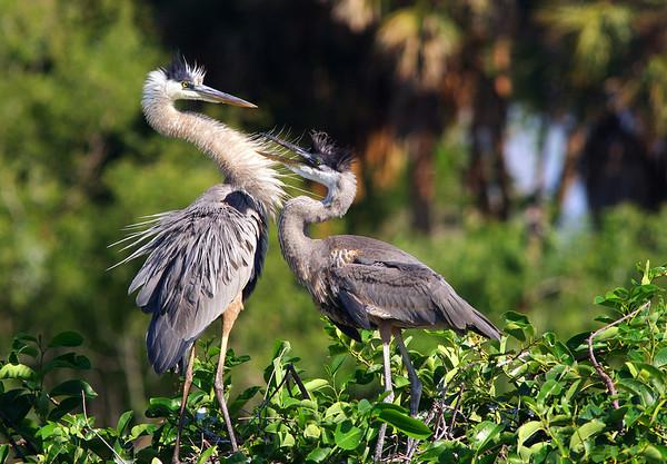 Great Blue Herons Wakodahatchee Wetlands Deerfield Beach, FL
