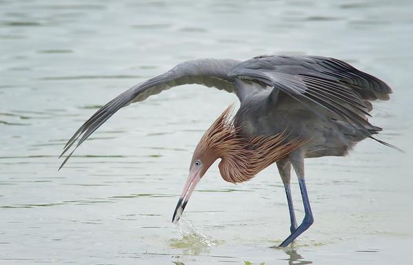 Reddish Egret canopy fishing Ft. De Soto State Park, St Pete, FL