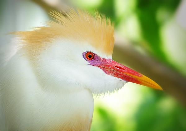 Cattle Egret in breeding plumage Gatorland bird rookery, Orlando FL