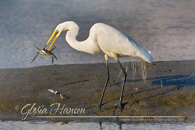 Egret-crab_GLO1405