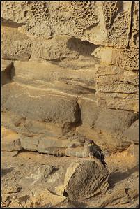 Eleonora's Falcon - Falco della Regina ( Falco eleonorae )   San Pietro Island - Sardinia - Italy  Giuseppe Varano - Nature and Wildlife Images - Birds and Nature Photography