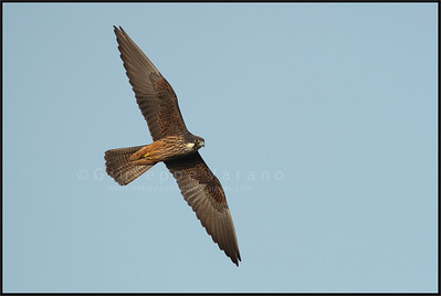 Eleonora's Falcon - Falco della Regina ( Falco eleonorae )   San Pietro Island - Sardinia - Italy  Giuseppe Varano - Nature and Wildlife Images - Birds and Nature Photography