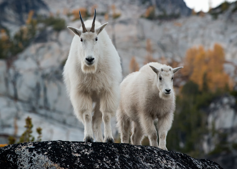 Mama Mountain Goat and Kid