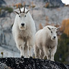 Mama Mountain Goat and Kid