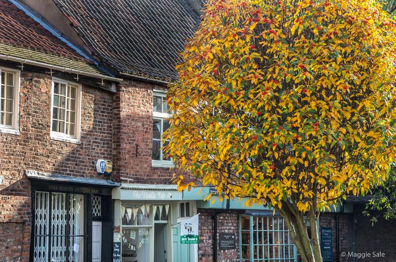 Autumn colours of a Mountain Ash tree