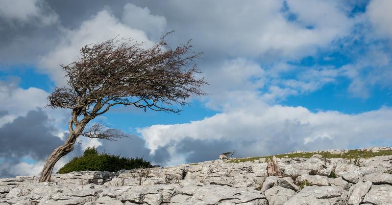 Hawthorn tree on the limestone pavement near Ingleton