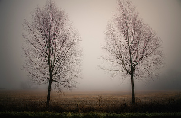 Trees in the fog, Little Clanfield