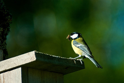 Talitiainen - Great Tit - Parus major