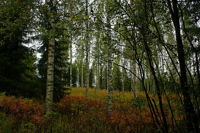 Koivikko - Birch forest Eno 2012