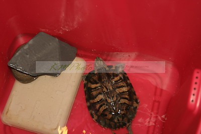 Turtle & Tortoise Pageant 082607