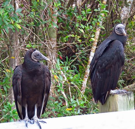 Black Vulture (3)