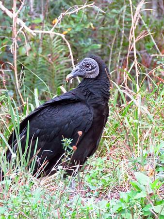 Black Vulture (6)