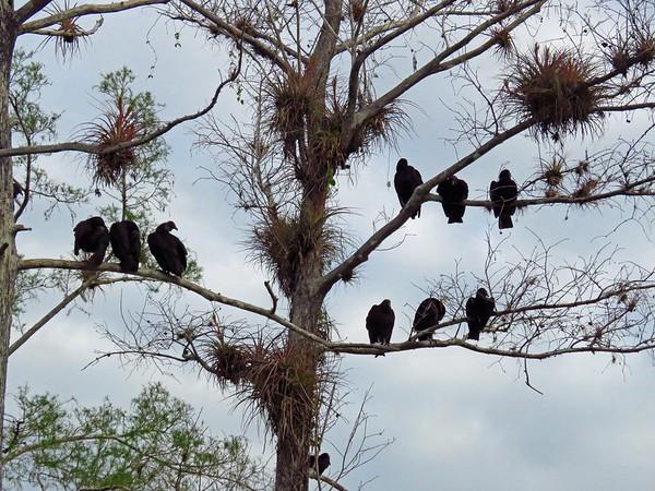 Black Vulture (1)