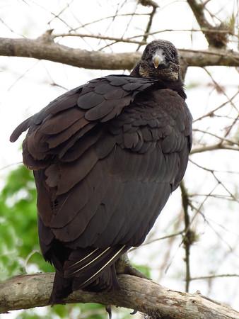 Black Vulture (5)