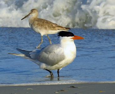 Caspian Tern and shorebird