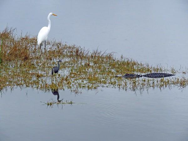 Egret, Tri-colored Heron, and Florida Alligator