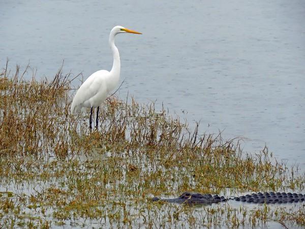 Egret and Florida Alligator