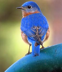 Eastern Bluebird (1)
