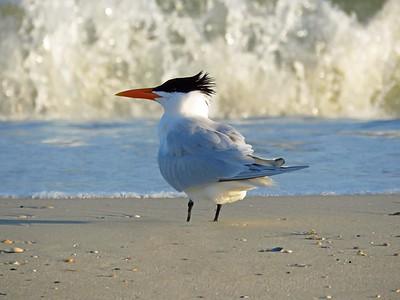 Caspian Tern (3)