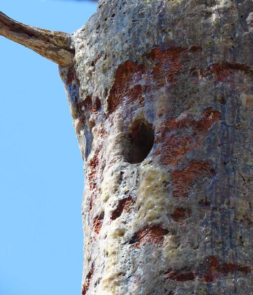 Red-cockaded Woodpecker hole