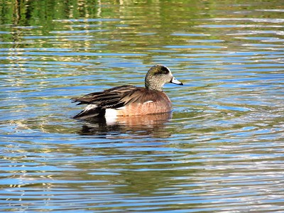 American Widgeon (1)