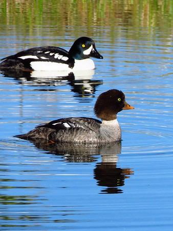 Barrow's Goldeneye (male) (8)