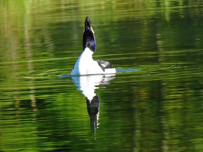 Barrow's Goldeneye (male) (2)