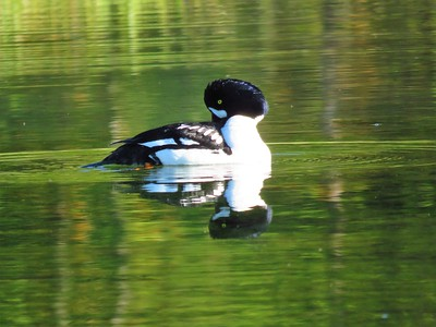 Barrow's Goldeneye (male) (1)