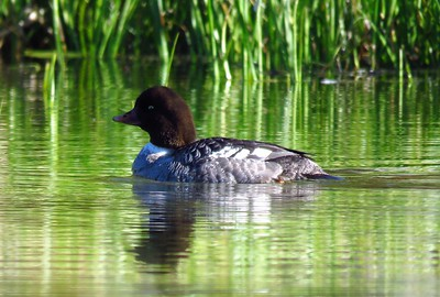 Barrow's Goldeneye (female) (1)