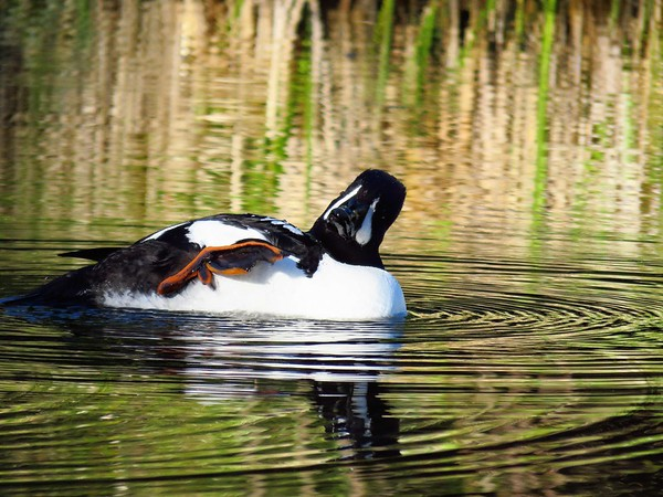 Barrow's Goldeneye (male) (7)