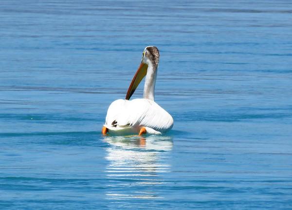 American White Pelican (3)
