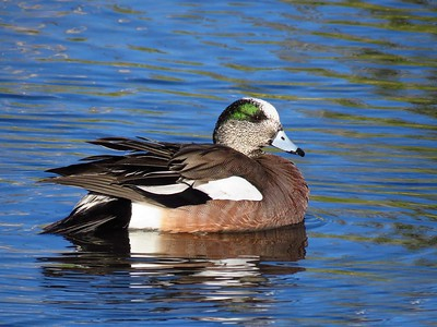 American Widgeon (3)