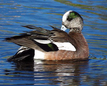 American Widgeon (2)