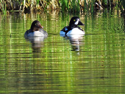 Barrow's Goldeneye (male) (4)