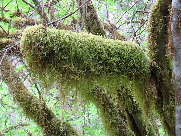 Trail of the Cedars, Newhalem Creek, WA (9)