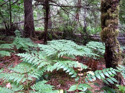 Trail of the Cedars, Newhalem Creek, WA (5)