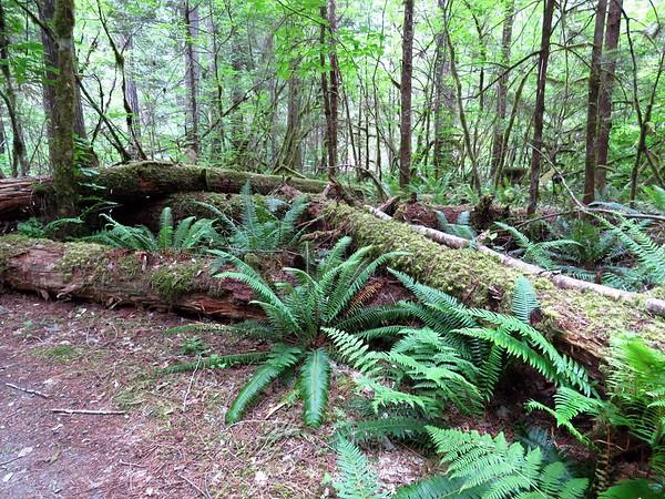 Trail of the Cedars, Newhalem Creek, WA (8)