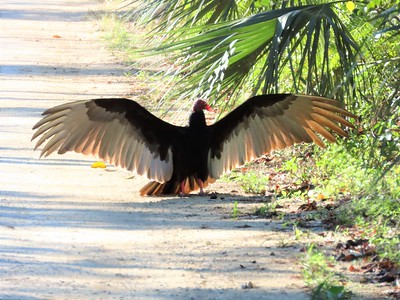 Turkey Vulture (1)