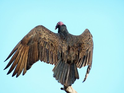 Turkey Vultures (6)