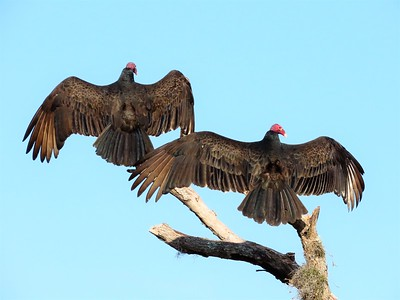 Turkey Vultures (8)
